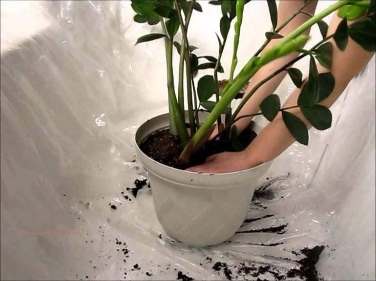 Замиокулькас: пересадка растения в домашних условиях, земля для пересадки