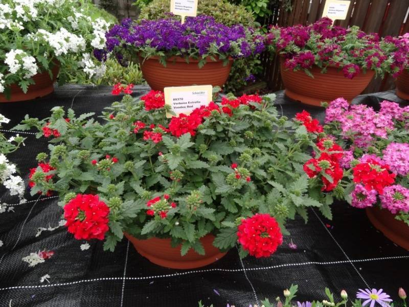 Вербена ампельная: посадка и уход, фото цветов
