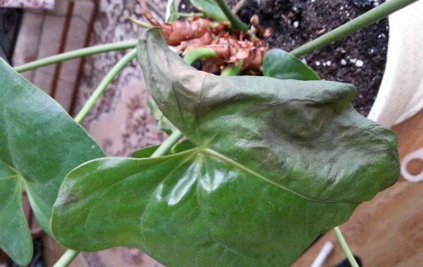 Листья антуриума покрываются коричневыми сухими пятнами: почему и что делать