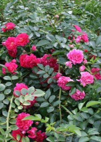 Сорта плетистих роз: фото и названия