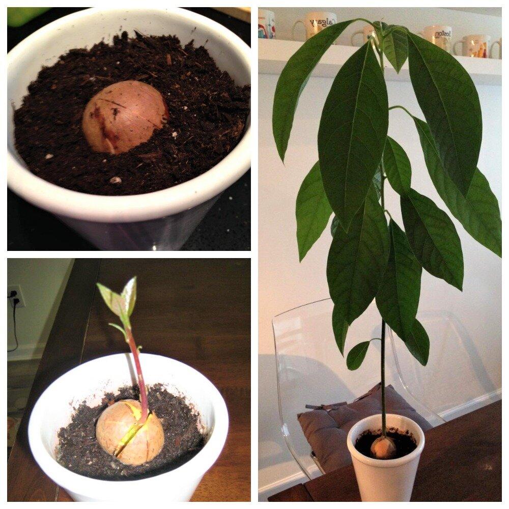 Как вырастить авокадо из косточки в домашних условиях — советы по посадке, уходу и содержанию дерева в домашних условиях