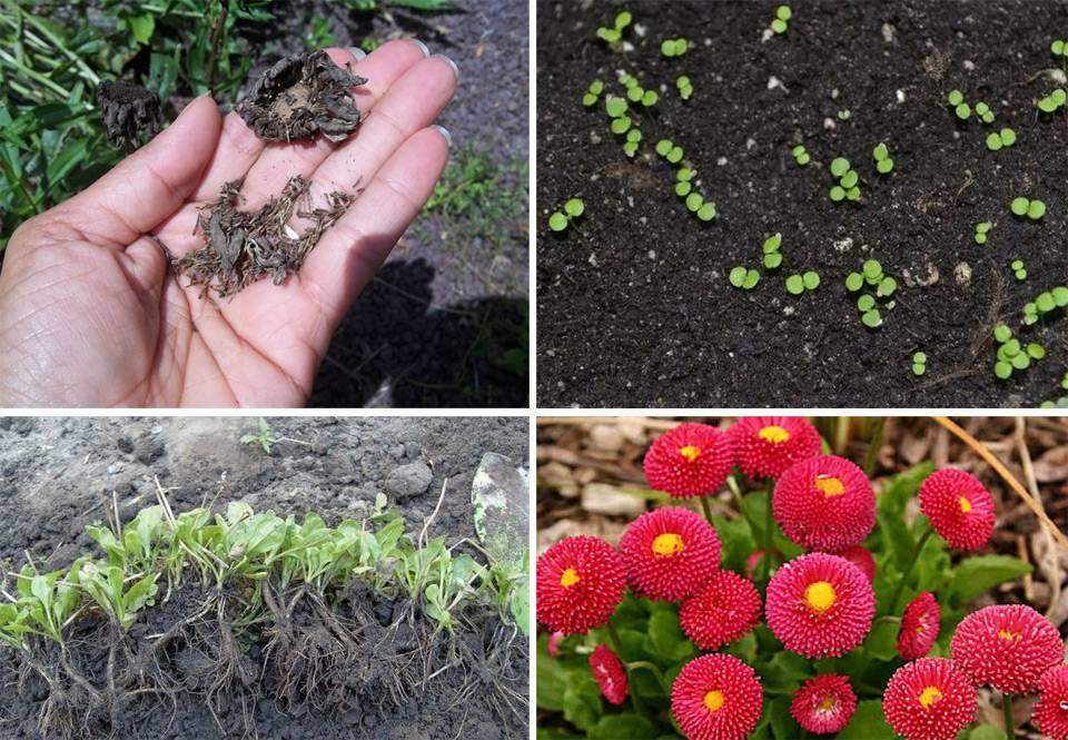 Маргаритки – выращивание из семян + подробная инструкция