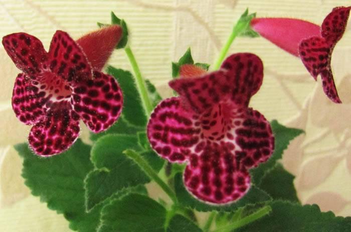 Колерия: уход в домашних условиях, способы размножения, нюансы выращивания и формирования кроны, а также фото различных сортов цветка