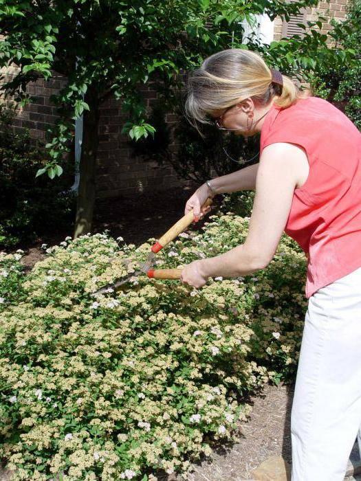 Как посадить спирею серую грефшейм и ухаживать за ней - общая информация - 2020