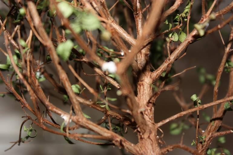Сохнут и скручиваются листья астильбы: причины, лечение, профилактика