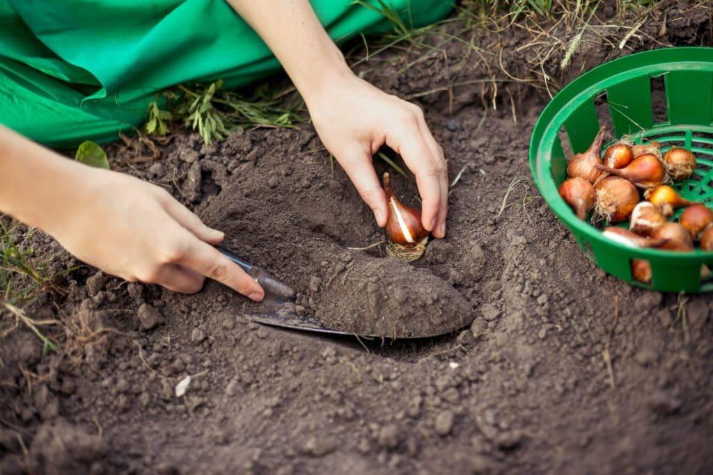 Когда сажать тюльпаны и выкапывать их луковицы весной и осенью