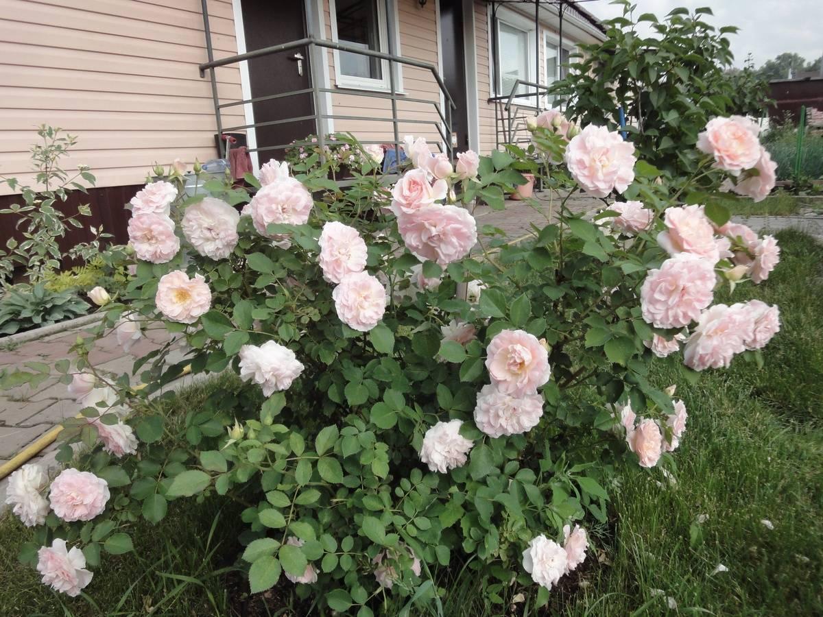 Парковые розы: описание, посадка и дальнейший уход