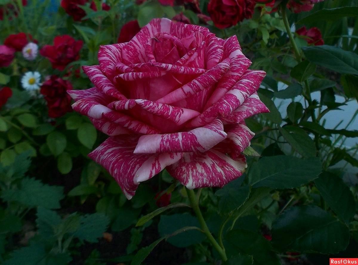 Роза ред интуишн и пинк интуишн: фото сортов, описание, видео, защита от вредителей, отзывы