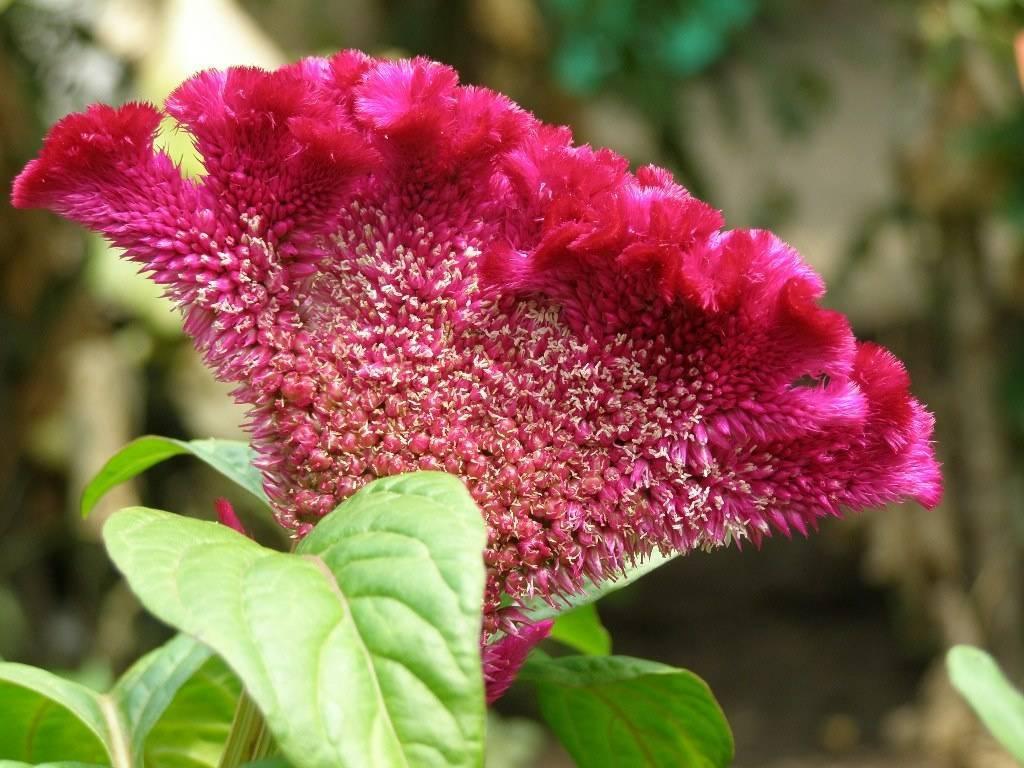 Целозия гребенчатая: выращивание из семян
