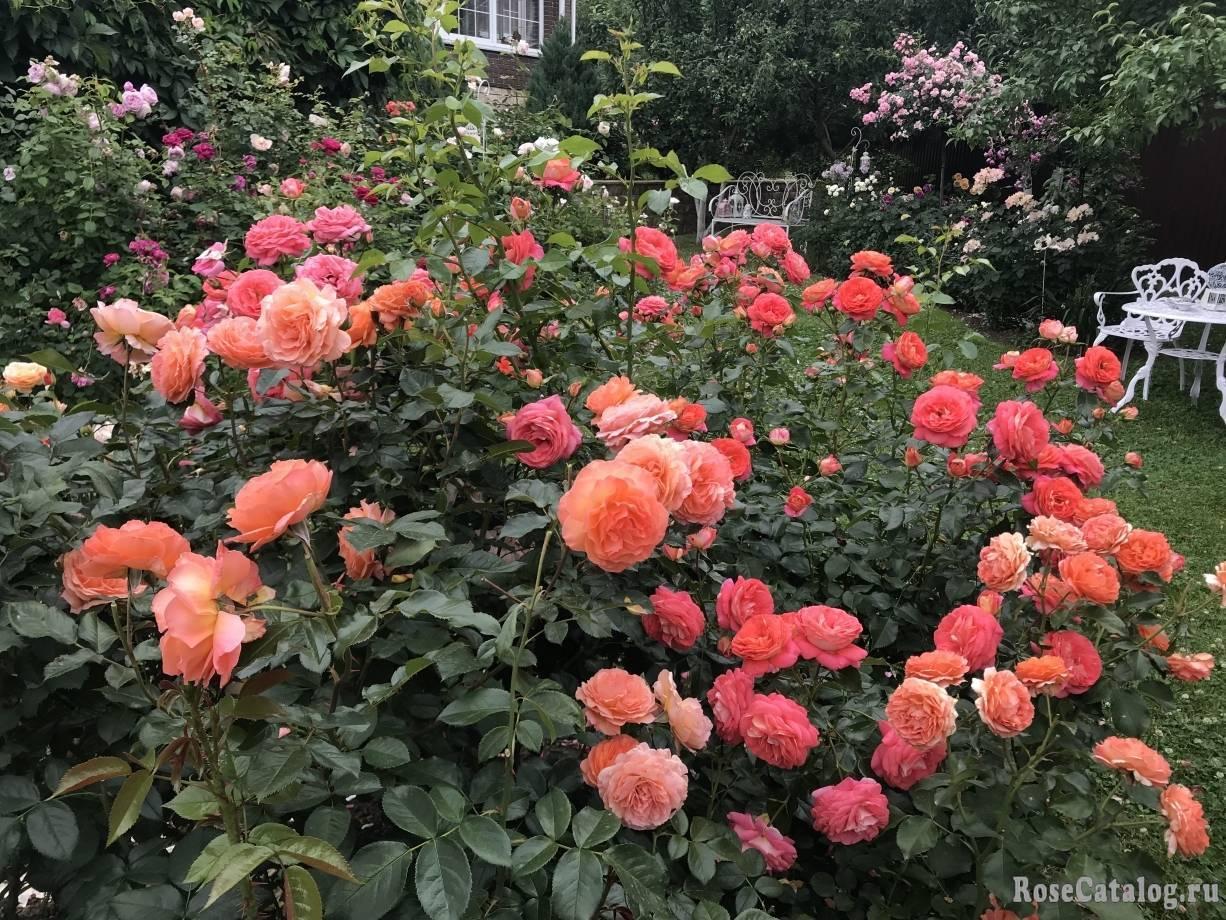 Выращивание сорта розы прейри джой: как ухаживать за канадским парковым цветком