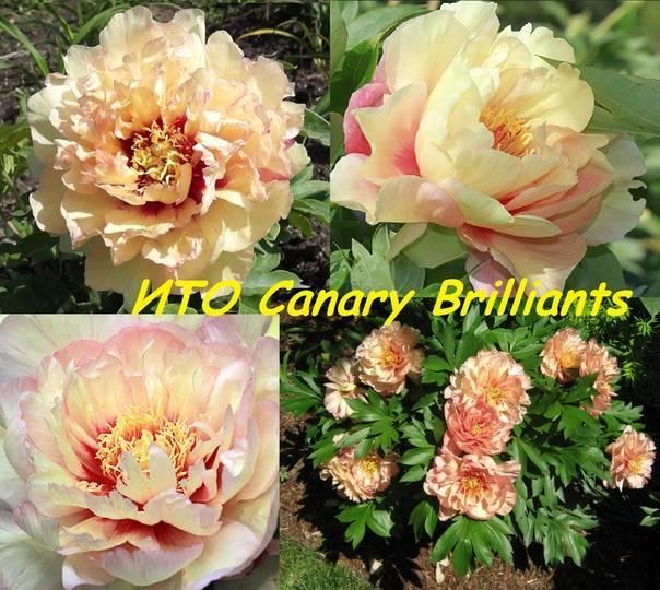 Пион «канари бриллиантс» (14 фото): описание сорта пионов. почему он относится к группе ито-гибридов?
