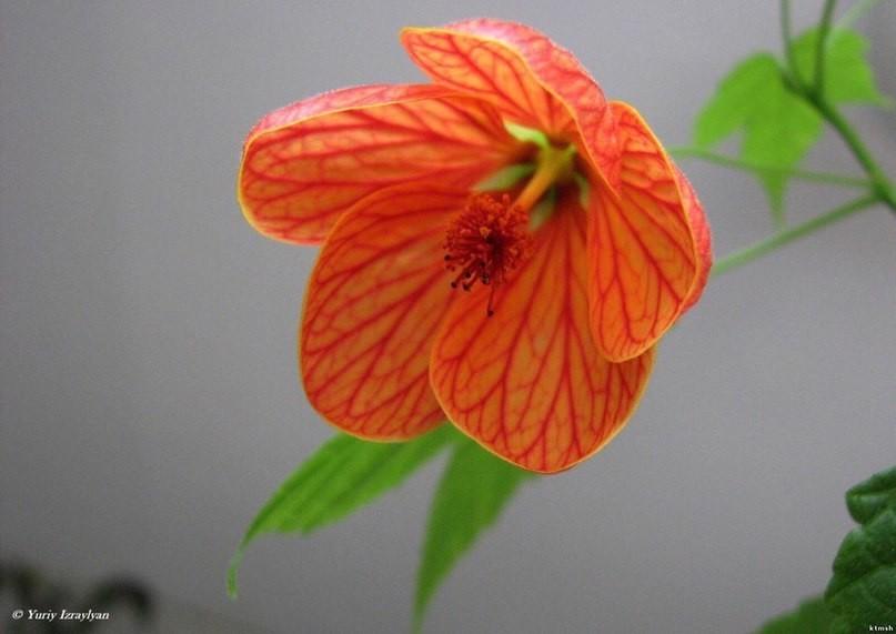 Абутилон комнатный или домашний клен, декоративное растение: гибридные сорта