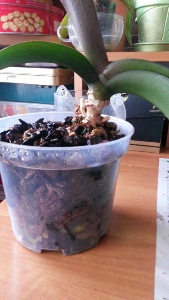 Всё про разные способы выращивания орхидей (из цветка, из клубня, из стрелки)