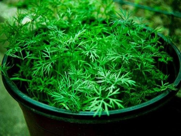 Как вырастить зелень на подоконнике зимой, витамины на столе круглый год