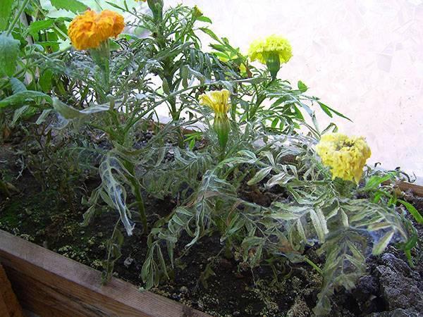 Почему листва садовых и комнатных гортензий желтеет и сохнет: что делать