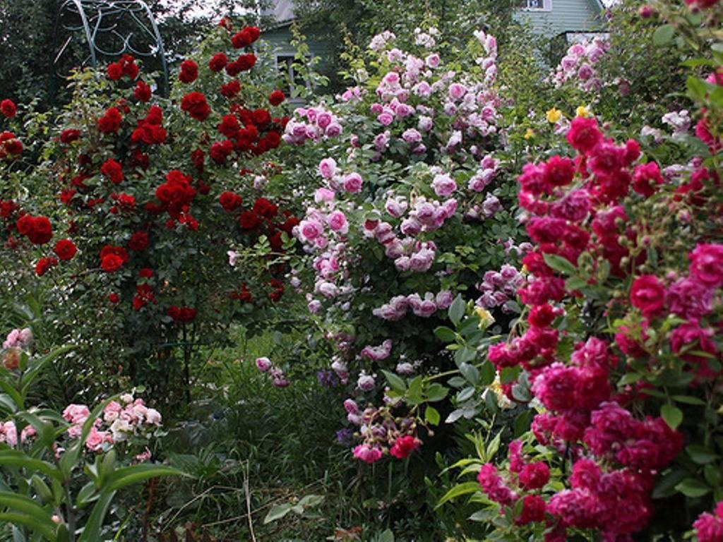 Какая она — плетистая роза сорта хендель?
