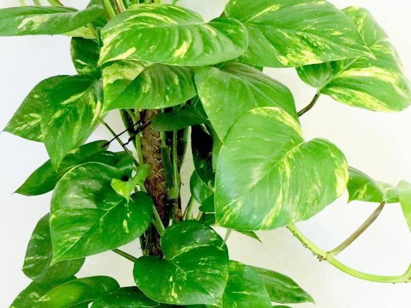 Сциндапсус (50 фото): уход за цветком в домашних условиях. описание сциндапсуса золотистого, расписного и других видов. способы размножения растения