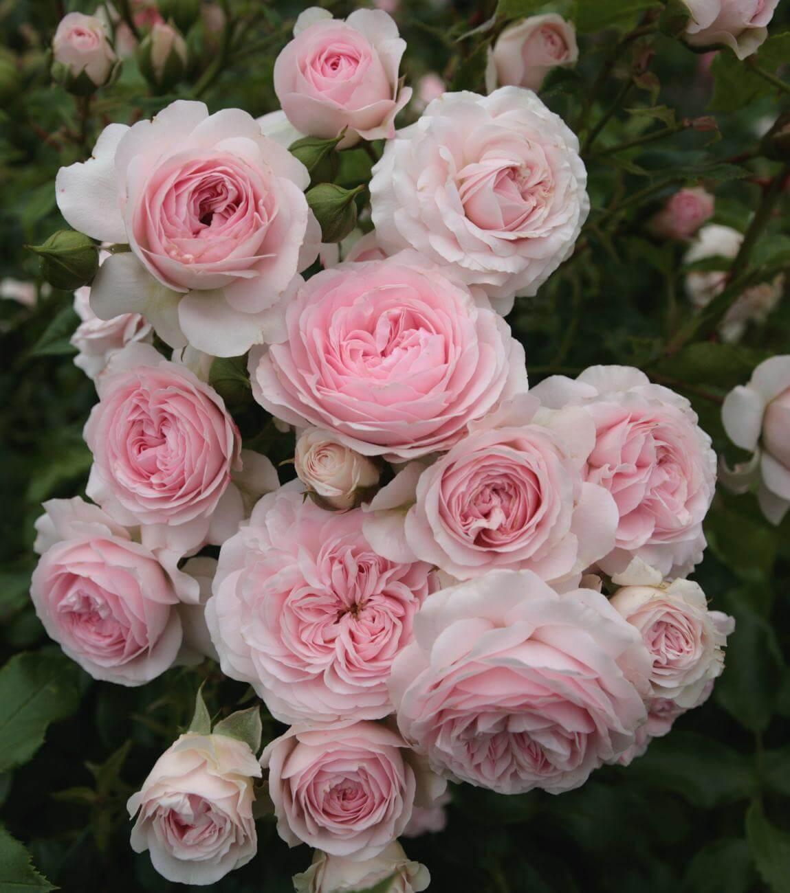 Почвопокровные розы – 4 общих направления, распространенные сорта и правила ухода