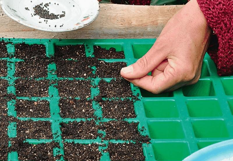 Кларкия: посадка и уход, выращивание из семян в открытом грунте, фото