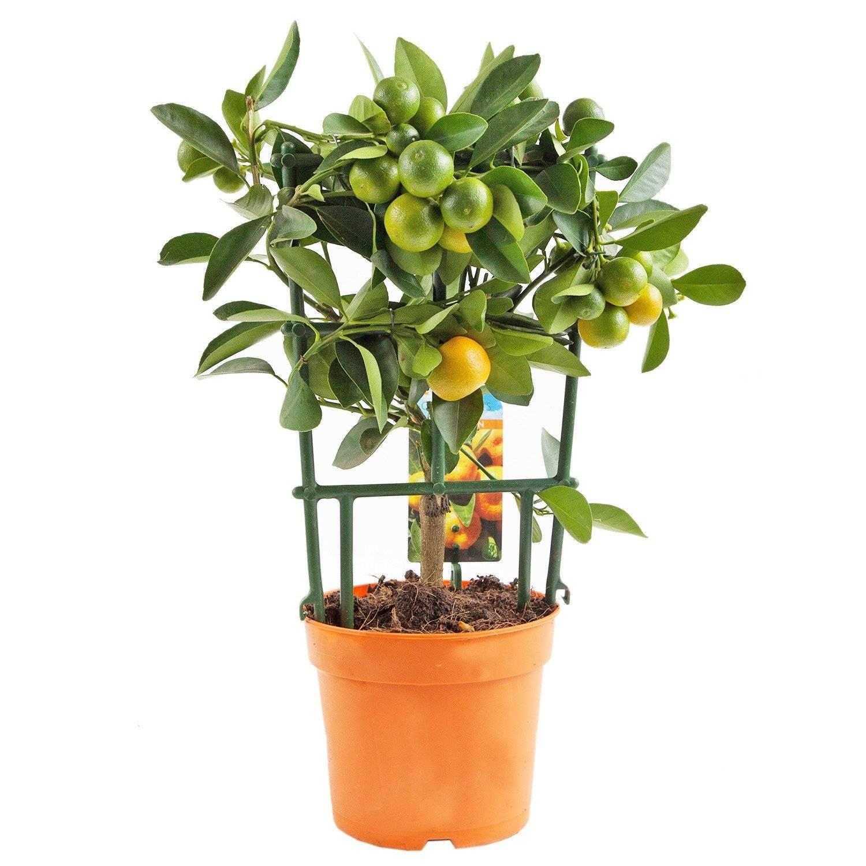 Как выращивать каламондин в домашних условиях