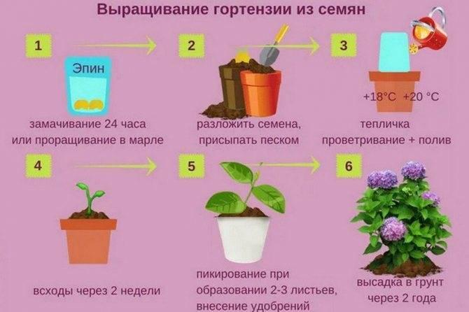 Комнатные гортензии: посадка и выращивание в горшке после покупки