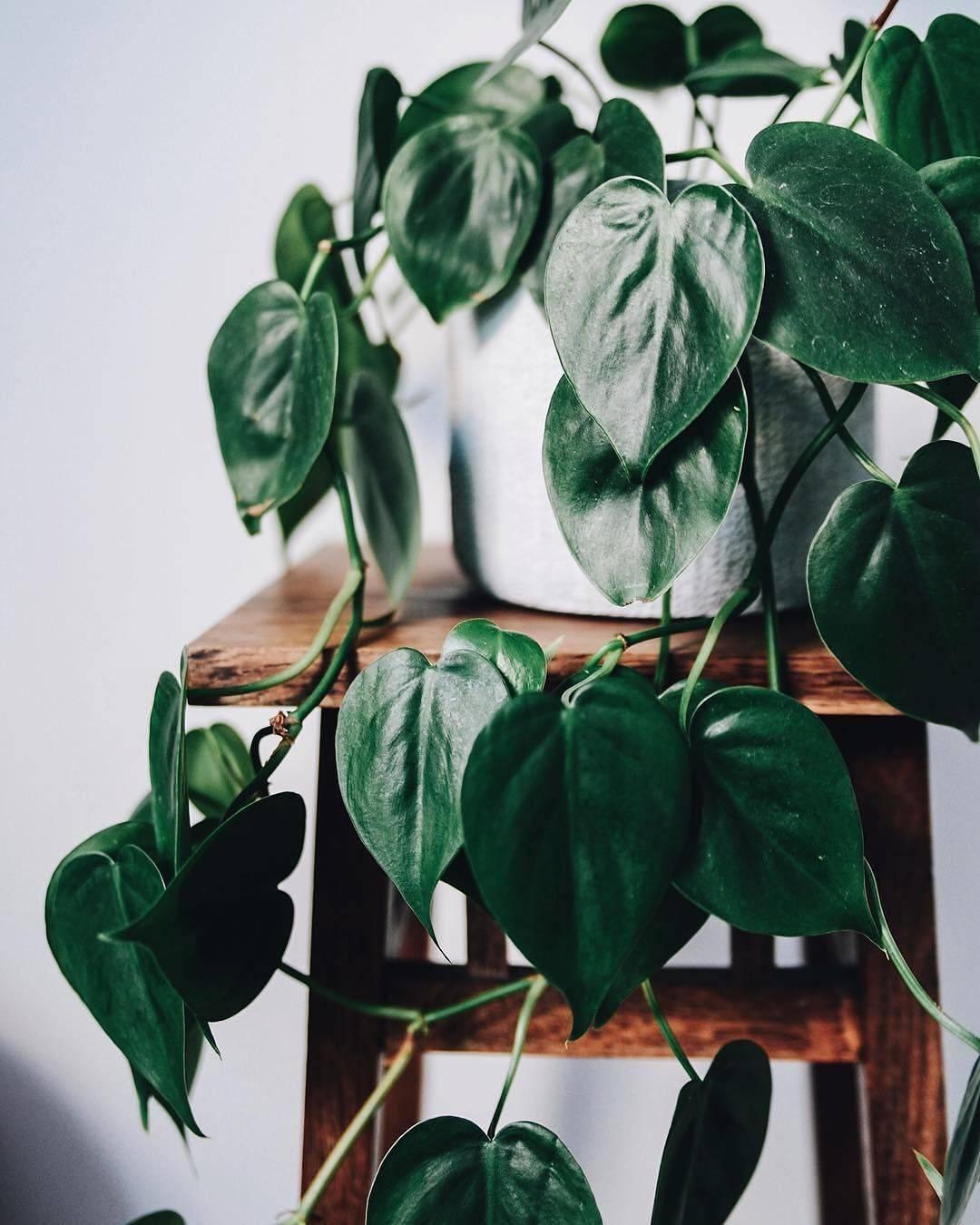 Филодендрон (57 фото): уход за комнатным цветком в домашних условиях и размножение, виды филодендрон лазящий и краснеющий, ксанаду и «атом», дольчатый и «медуза»