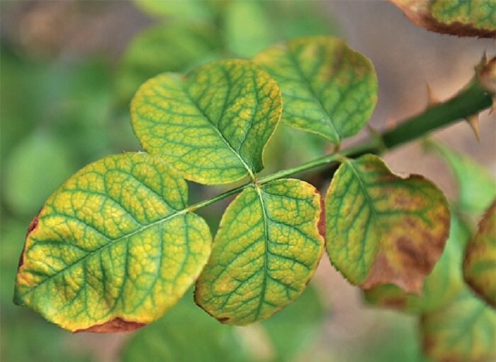 Почему листья у алоэ пожелтели и начали сохнуть на кончиках: болезни, как спасти