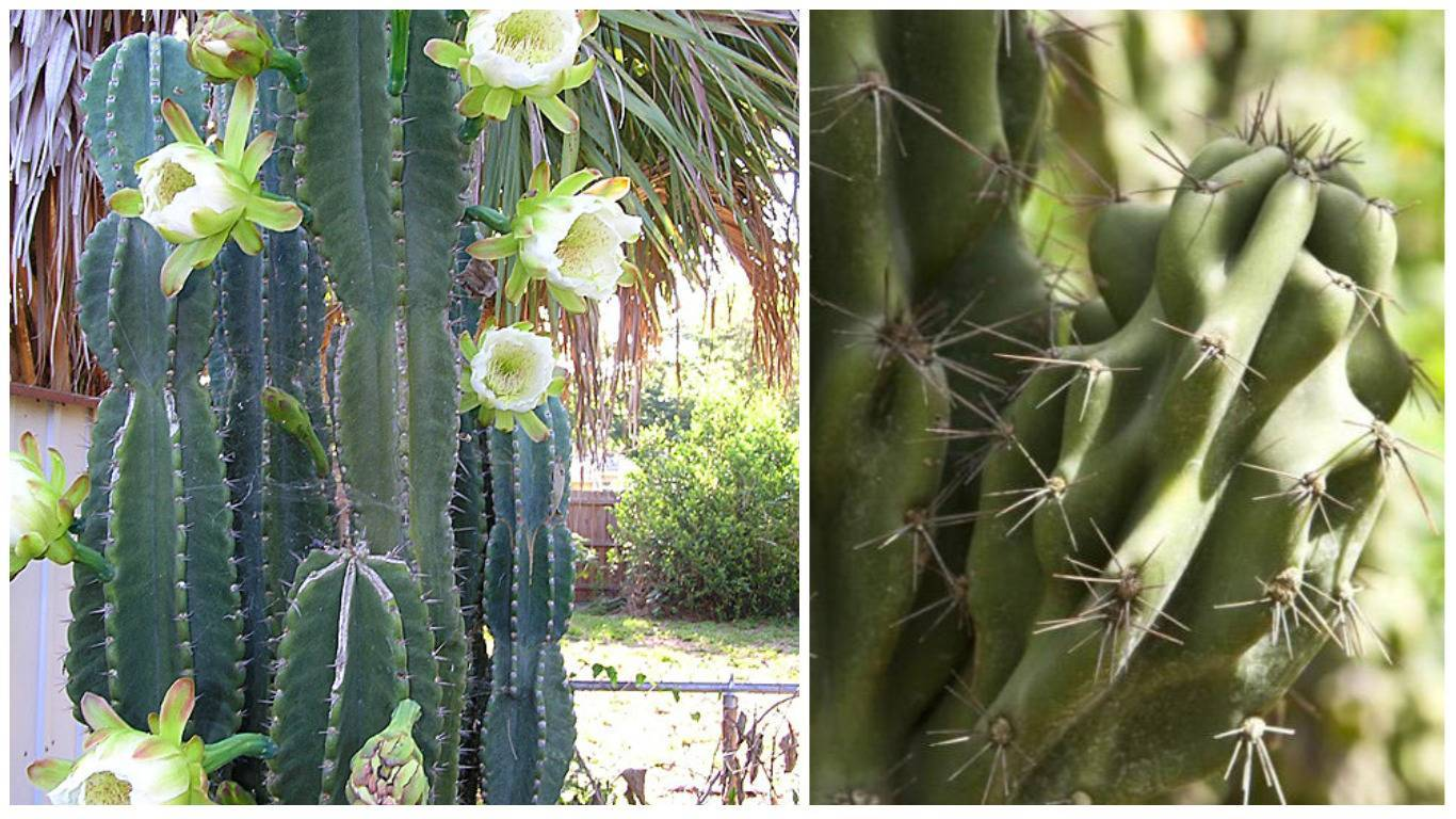Кусочек пустыни у вас дома — кактус цереус