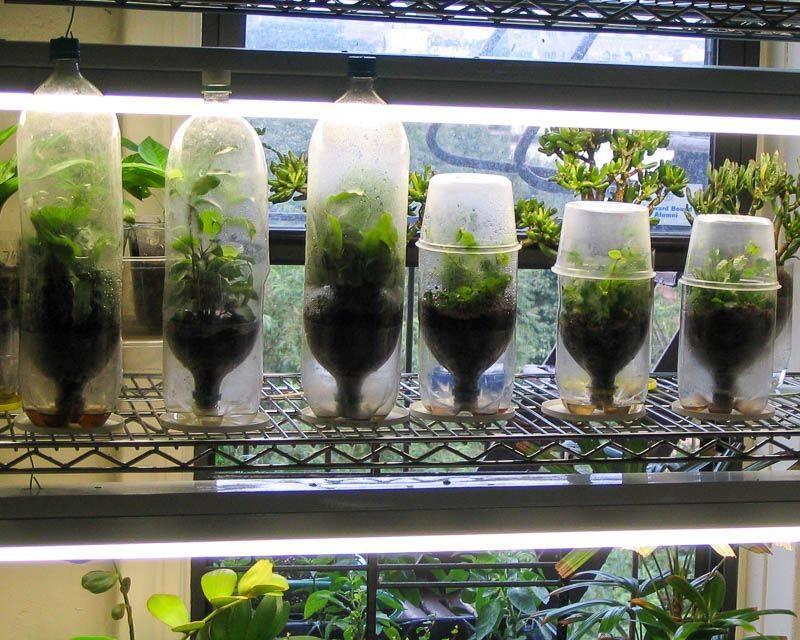 Растение требующее пристального ухода — фикус «карликовый»: фото в домашних условиях