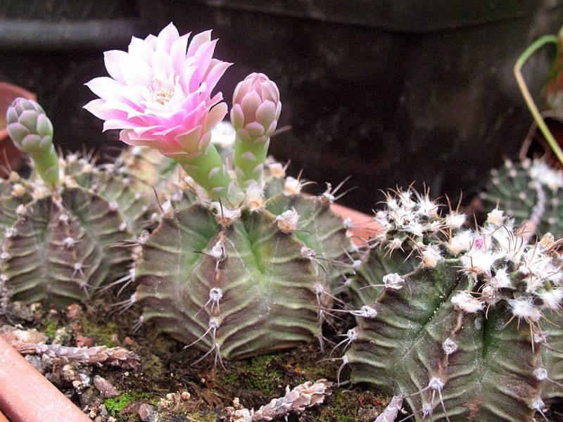 Кактус гимнокалициум: виды и фото. уход за гимнокалициумом михановича