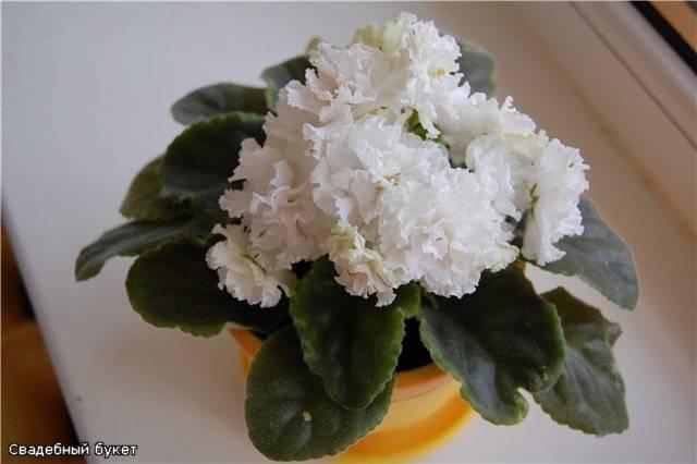 Описание сорта цветка фиалка герцогиня люкс