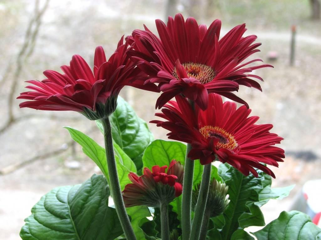Герберы из семян в домашних условиях: как успешно вырастить комнатные цветы, основные правила посадки и ухода, в том числе полива молодых всходов, дано фото