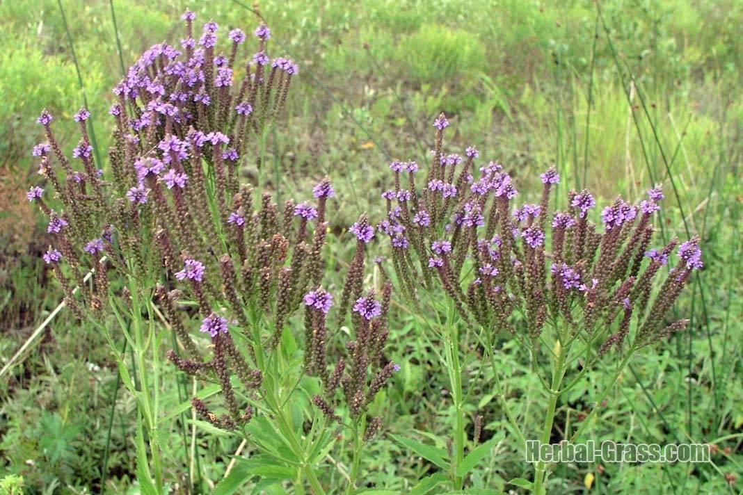 Вербена: происхождение, цветение, фото цветка, полезные и лечебные свойства и противопоказания