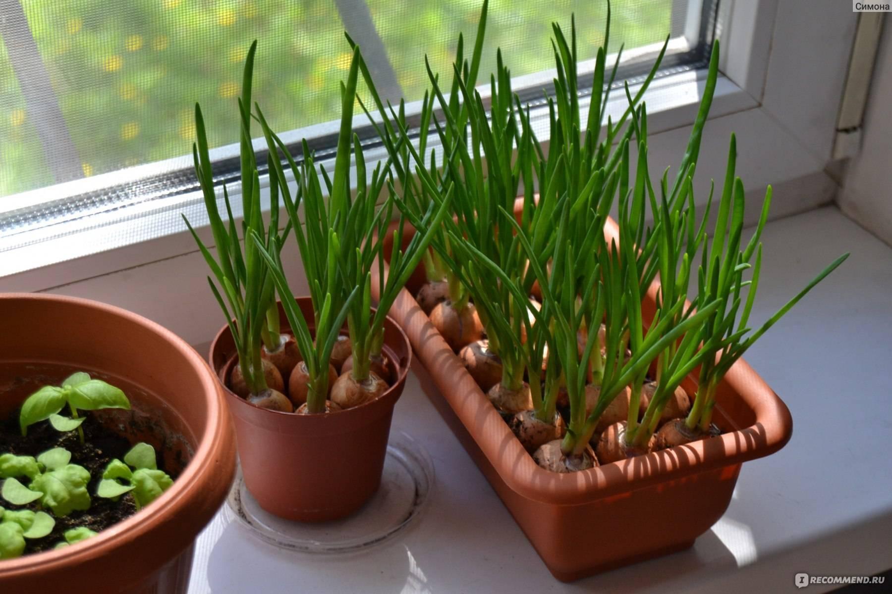 Индийский лук: выращивание и уход, польза и вред