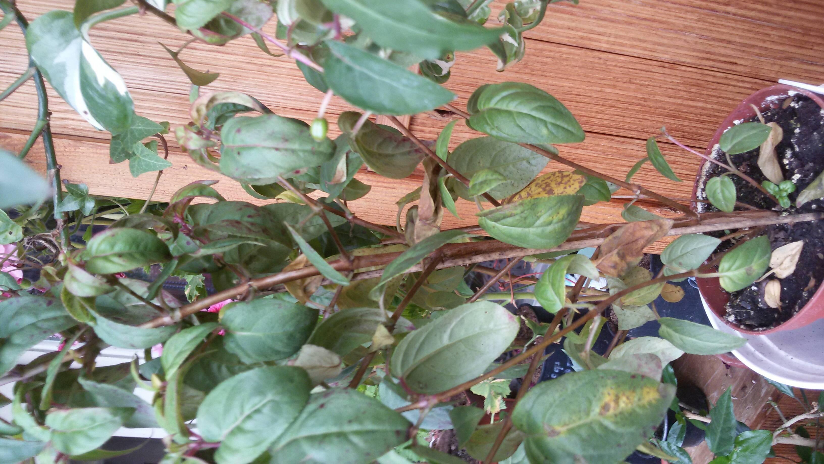 В чем причина пожелтения нижних листьев у флоксов: что можно сделать, как помочь