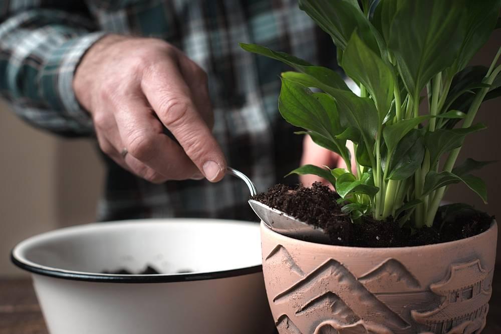 Фатсия (45 фото): уход за комнатным цветком в домашних условиях, размножение японской фатсии семенами, болезни и вредители растения. почему сохнут и опадают листья?