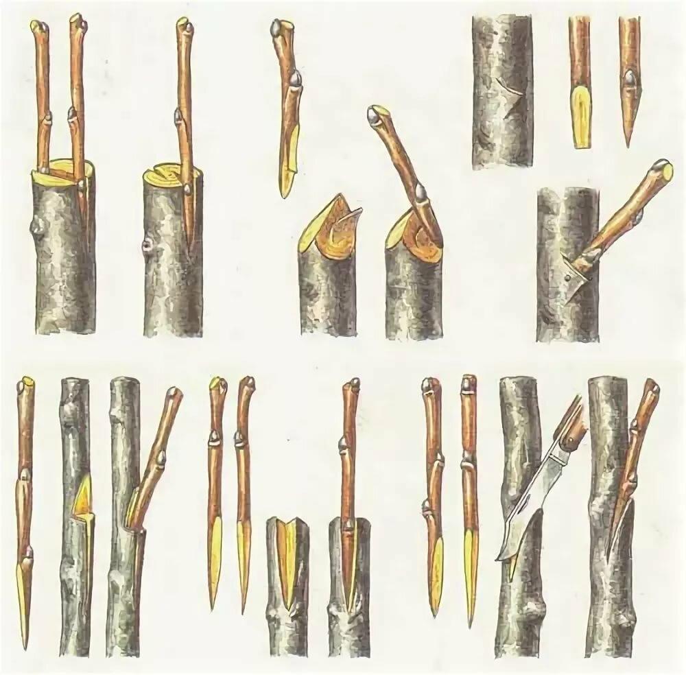 Правильная прививка саженцев: превращаем дичок в сортовое дерево