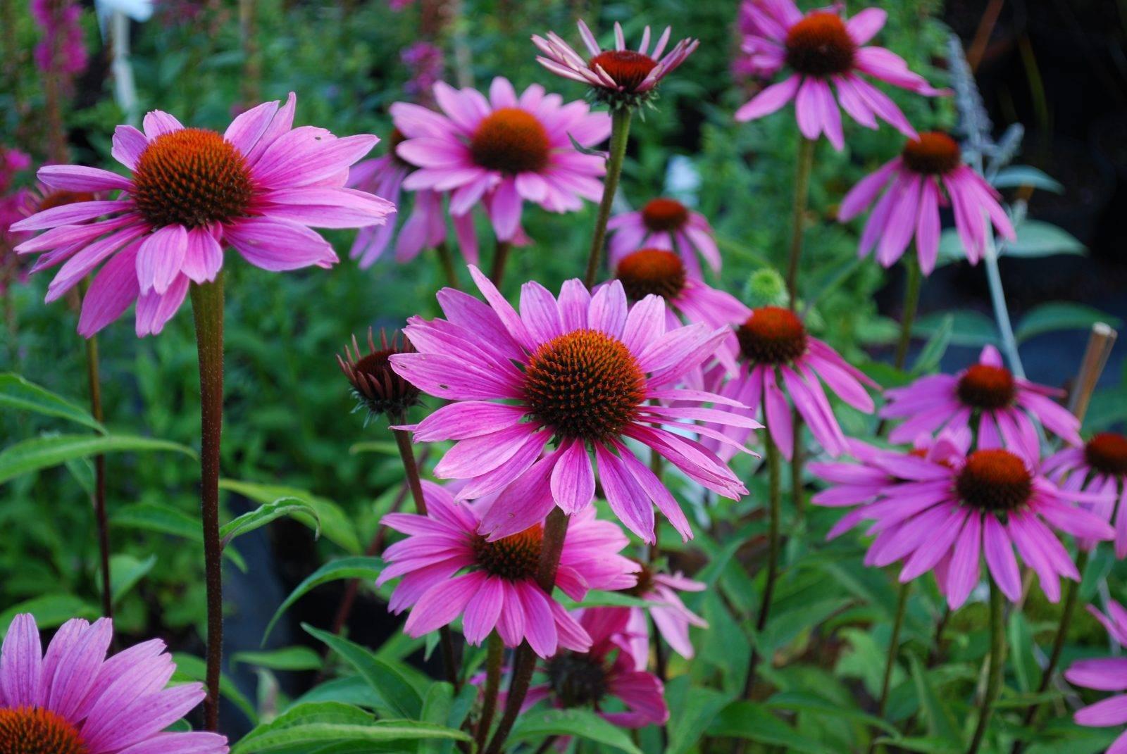 Эхинацея пурпурная и другие сорта растения