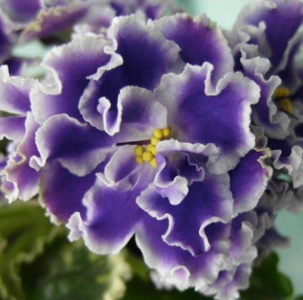 Фиалка «летние сумерки»: описание сорта и выращивание