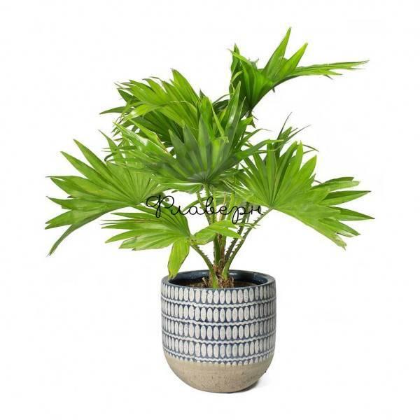 Уход за пальмой ливистона в домашних условиях: фото + видео