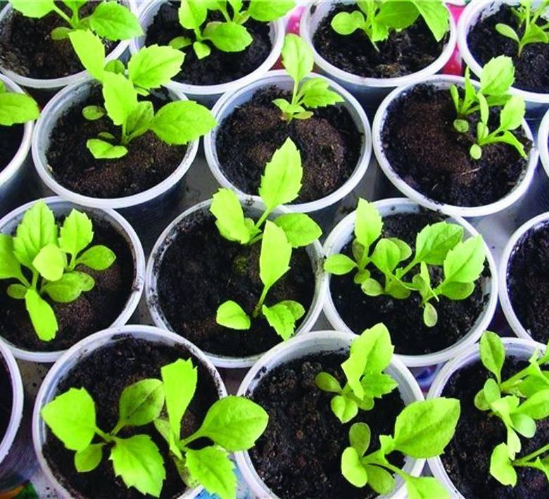 Как правильно высаживать и выращивать семена астр, уход за рассадой и цветами