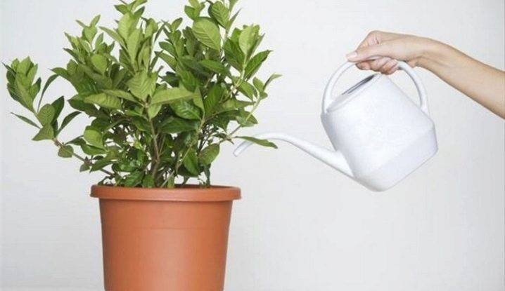 Как размножить фикус, пересадить и взять отросток