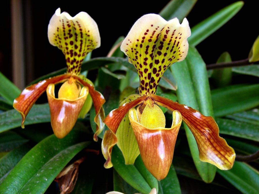 Венерин башмачок — что это за орхидея и какого ухода она требует?