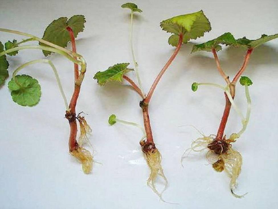 Посадка и уход за клубневой бегонией при выращивании её из семян
