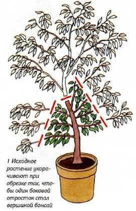 Бонсай из клена (24 фото): как вырастить красный, синий, японский или канадский бонсай клен? как сажать и выращивать семена?