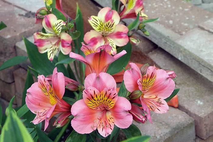 Альстромерия: необычные цветы для открытого грунта
