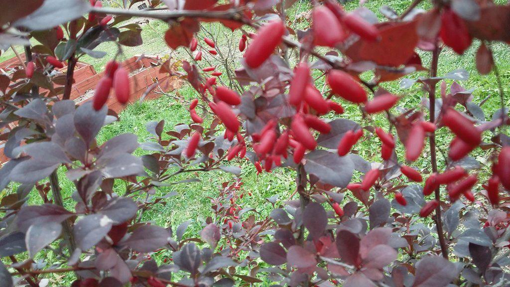 Барбарис тунберга атропурпуреа — описание сорта