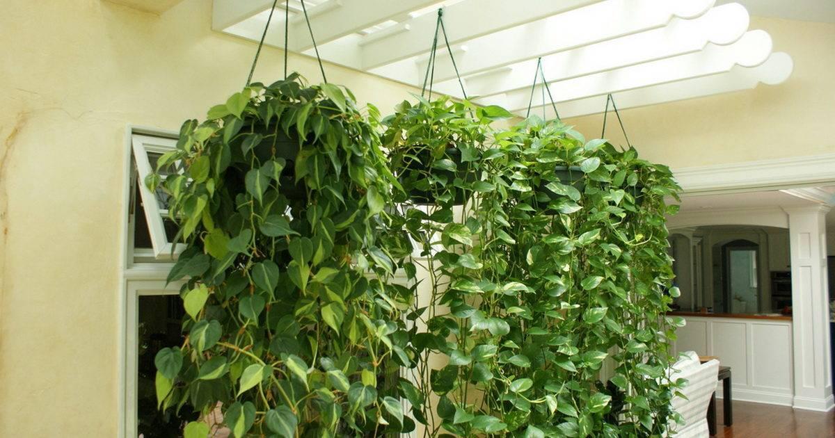 Комнатные растения лианы: фото и уход за лиановидными вьющимися и цветущими лианами
