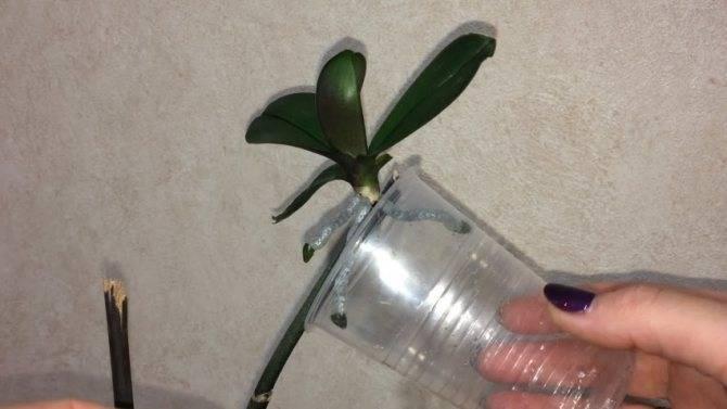 Размножение орхидей корнями, в том числе воздушными: можно ли его осуществить в домашних условиях и если да, то как?