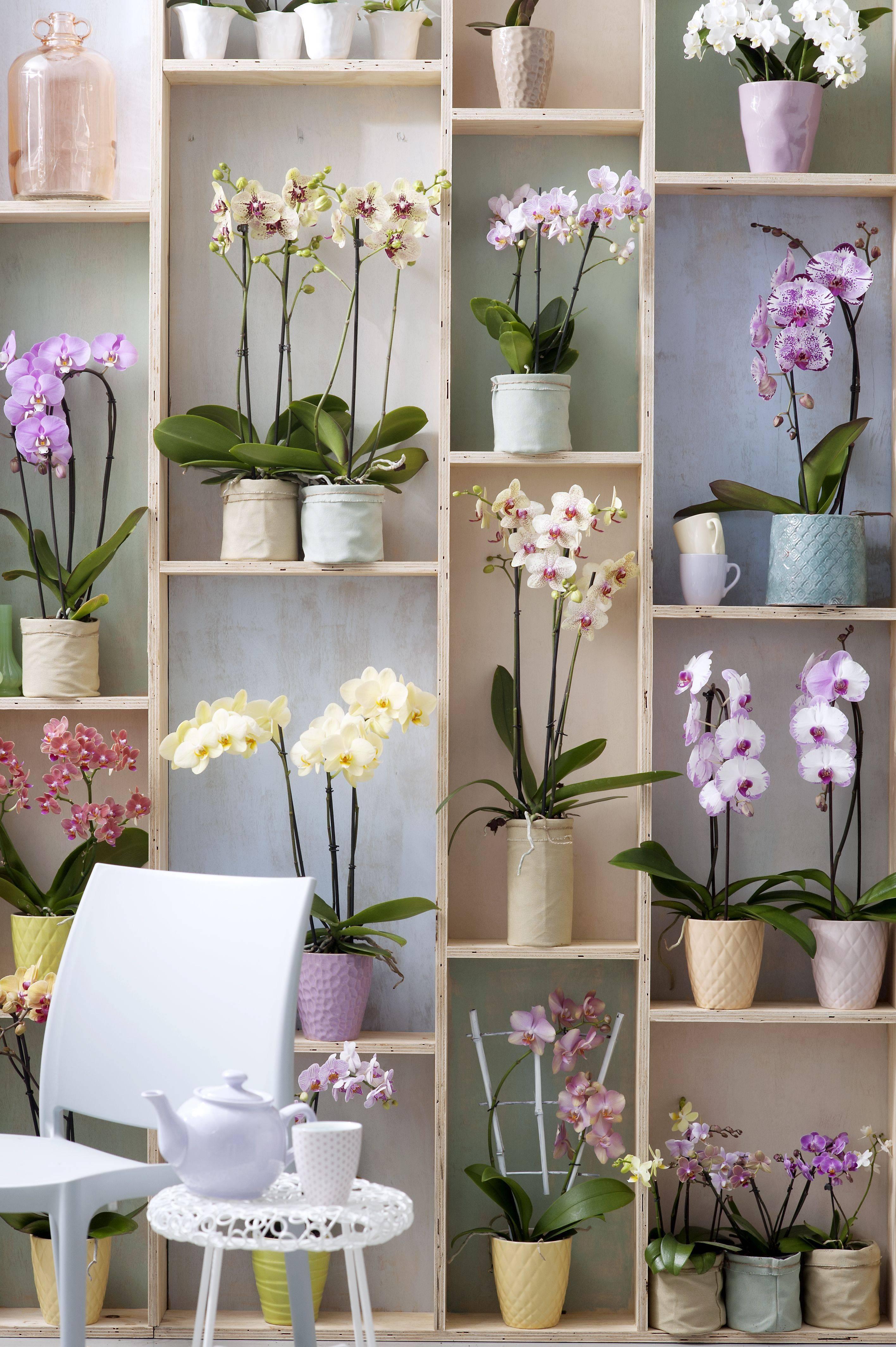 Можно ли держать дома орхидеи (фаленопсис)